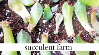 How To Propagate Succulents Like A BOSS