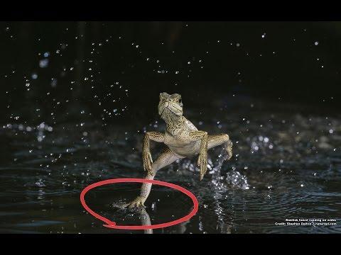Как называется насекомое которое бегает по воде