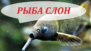 Аквариумные рыбки. Рыба Слон в аквариуме, про содержание, кормление и разведение.