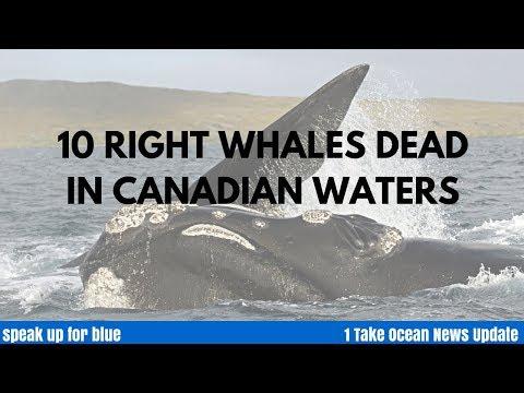 10 North Atlantic Right Whales Dead