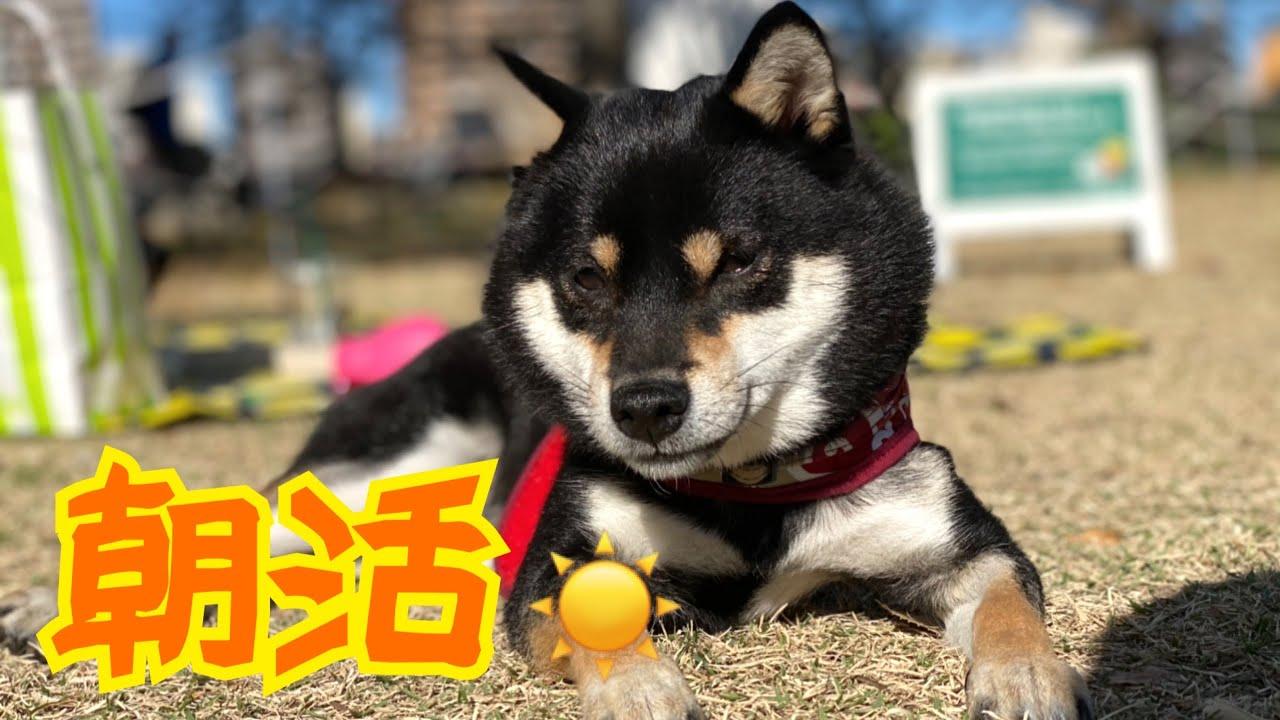 【豆柴】柴犬と過ごすステキなピクニック朝活。 Morning with Shiba Inu dogs