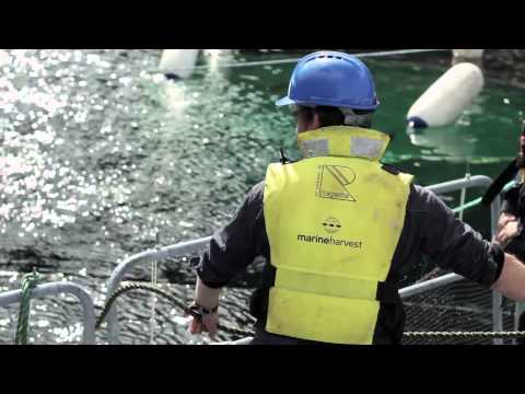 Sterling White Halibut - Visit To The Fish Farm In Hjelmeland