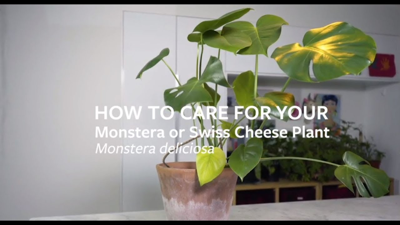 How to care for your Monstera or Swiss Cheese Plant Monstera House Plant on rhapis house plant, anubias house plant, colocasia house plant, iris house plant, dracaena house plant, avocado house plant, carnation house plant, fig house plant, lantana house plant, split leaf philodendron house plant, coleus house plant, scindapsus house plant, filarum house plant, gypsophila house plant, hoya house plant, camellia house plant, crassula house plant, bromeliads house plant, acacia house plant, papaya house plant,
