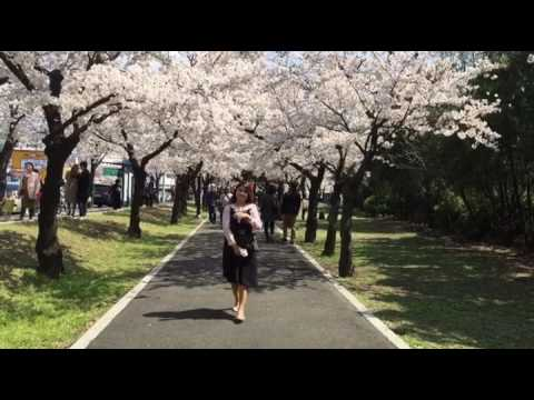 Spring 2017 cerry blossoms daegu south korea
