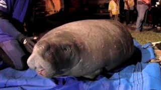 Crews save 19 manatees trapped in Florida storm drain