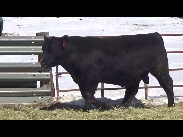 Connealy Angus Lot 465