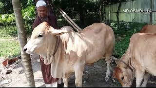 ব্রাহমা জাতের গরু brahma cattle 6-8 month age.