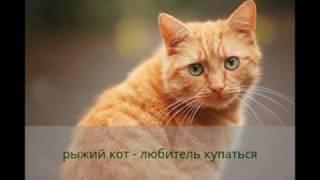 Рыжий кот который очень любит купаться