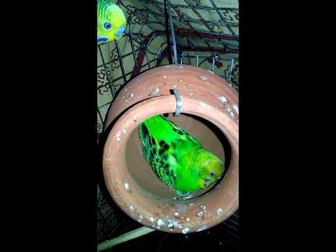 Budgie birds brooding on 2 eggs...
