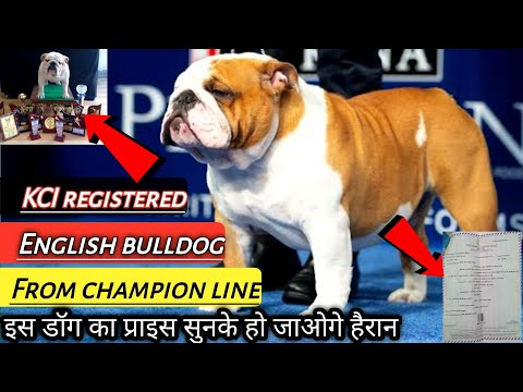 Best Quality English Bulldog KCI Registered For Sale || Bulldog Facts In Hindi