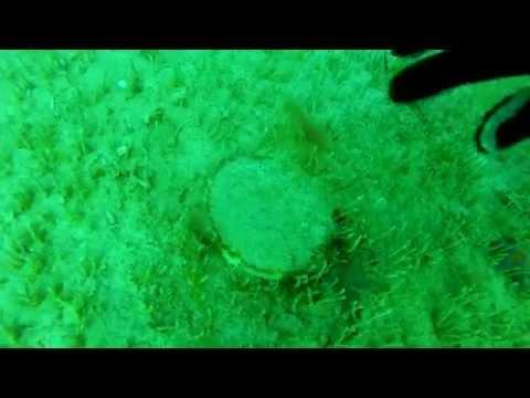 Приморский гребешок