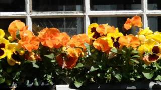 iis sugianto-bunga sedap malam