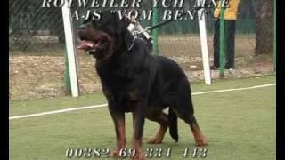 """Rottweiler Ych Mne Ajs """"vom Beni"""""""