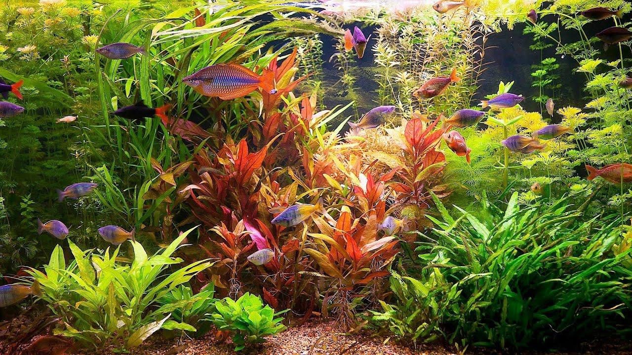 How to remove red algae from fish tank aquarium care for Fish tank algae remover