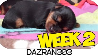Newborn Yorkshire Terrier Puppies | Week 2 [hd]