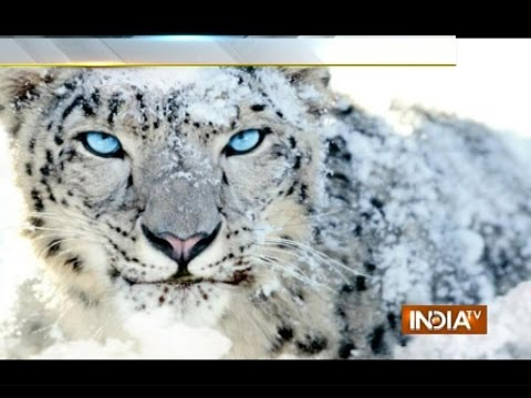 Australian Skiers Encounter with Snow Leopard in Gulmarg, Post the Video on Facebook