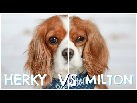 Herky vs Milton  Cavalier King Charles Dog Personalities, Behaviours & Habits