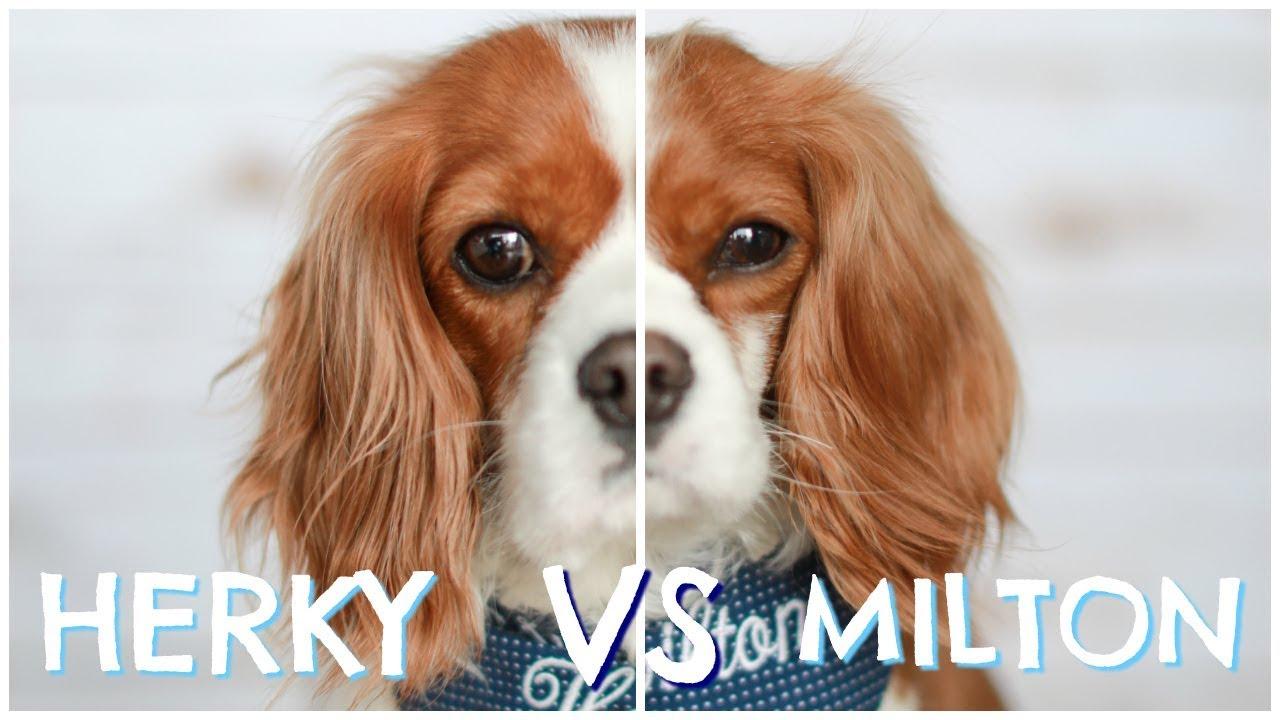 Image of: Puppies Herky Vs Milton Cavalier King Charles Dog Personalities Behaviours Habits 931 Wibc Herky Vs Milton Cavalier King Charles Dog Personalities