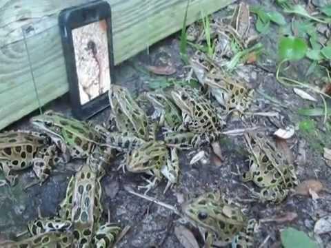 Câu ếch bằng iPhone: anh em áp dụng nhé...