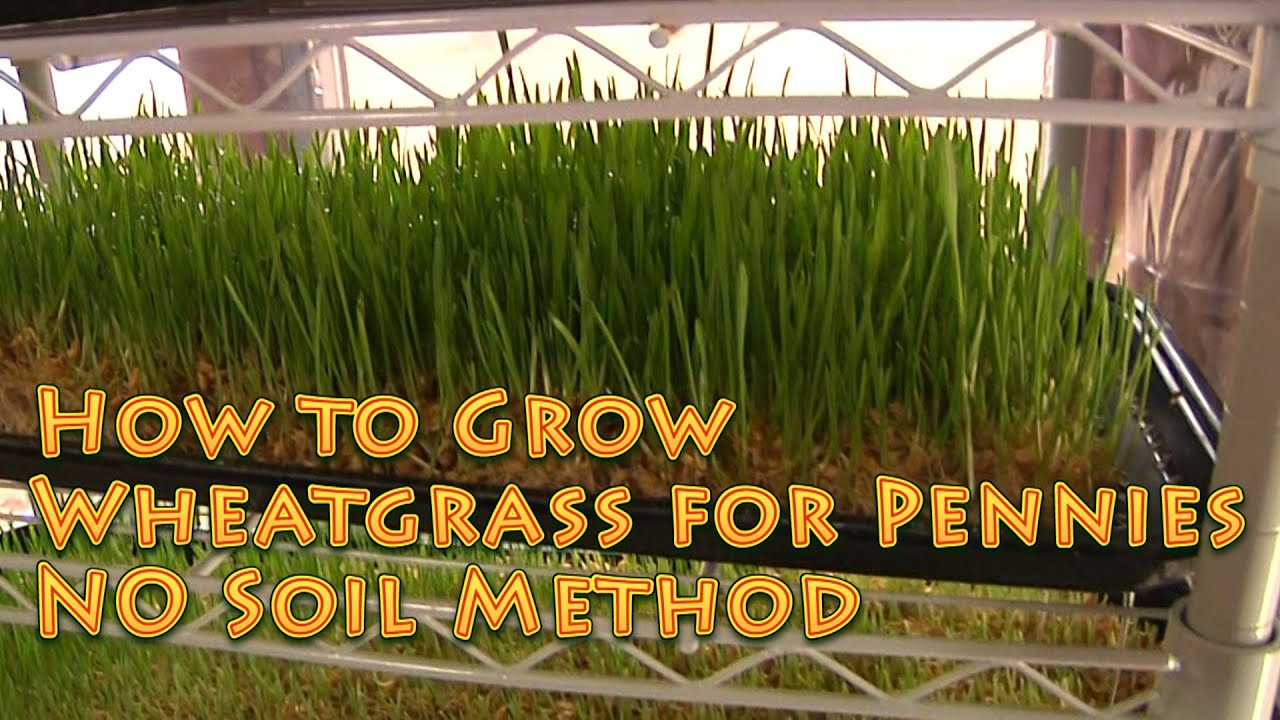 Easy Plants To Grow Indoors How To Grow Wheatgrass No Soil Easy Youtube