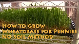 How to Grow WHEATGRASS No soil EASY