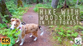 4K Virtual Hike with a Sheltie Puppy  Mount Baldy, B.C.