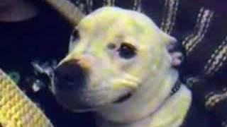 Staffordshire Bull Terrier Talk