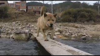 中华田园犬小白和旺旺勇敢过独木桥,阿黄却双腿发软,差点没瘫在桥上!...