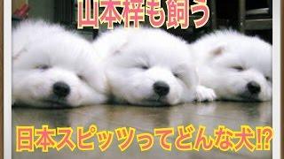 ペットで犬を飼おうと迷っている方へ〜日本スピッツ〜 世の中には様々な...