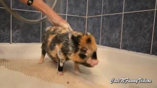 Милые мини-пиги(м.свинки)