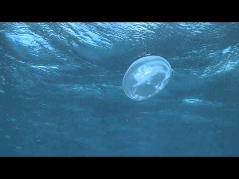 Jellyfish In Cozumel September 2010