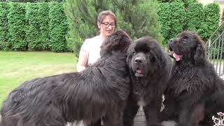 Newfoundland dogs and me