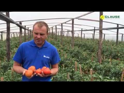 Опыт выращивания томата Супернова F1 на Закарпатье
