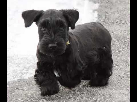 Dog Cesky Terrier | Terrier Dog Breed Picture Collection