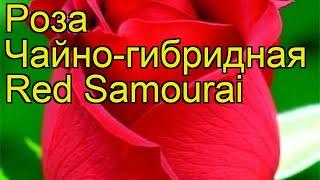 Роза чайно-гибридная Ред Самурай. Краткий обзор, описание характеристик Red Samourai