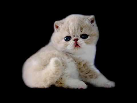 most beautiful cats / kedi cinsleri - exotic shorthair / cat breeds - exotic shorthair