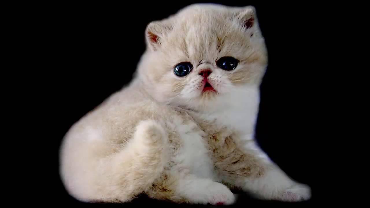 most beautiful cats kedi cinsleri exotic shorthair cat