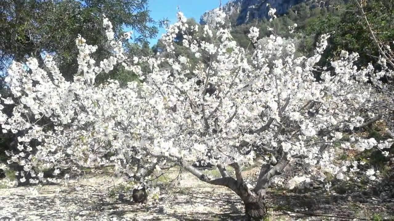 La Maravilla De Los Cerezos En Flor Vall De Gallinera Marina Alta