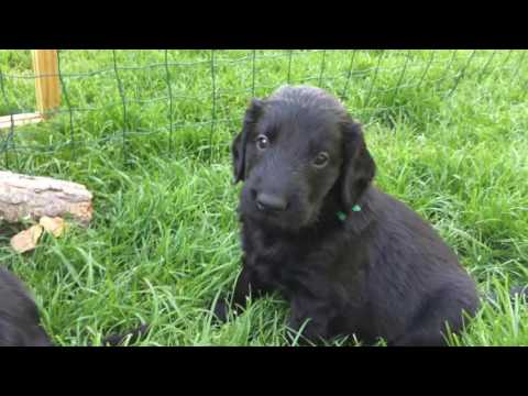 Flatcoated Retriever Puppies