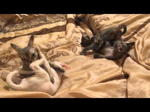 Devon Rex kittens playing:)