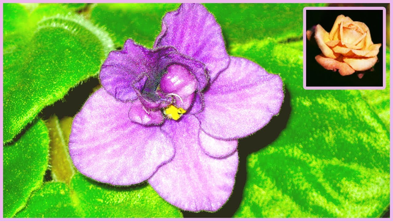 Удивительная история размножения узамбарской фиалки. Комнатные растения. 🌿