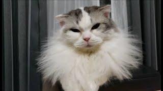 白モフ猫の「えりまき」がモッサモサになってる事に気付いた