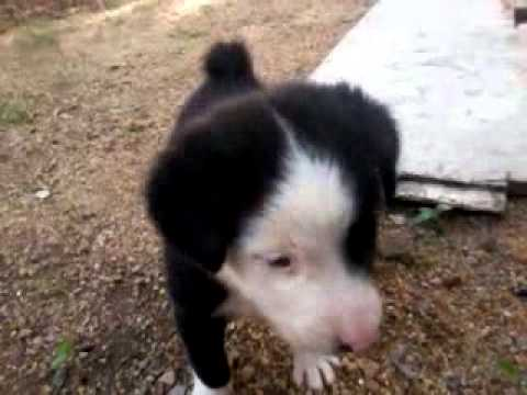 fluffy puppy black and white little corby dog youtube