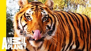 A Cause with Claws: Global Tiger Day and Project C.A.T.