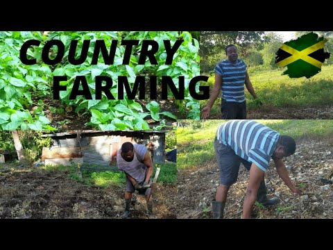 JAMAICAN FARMER |  FARMING SWEET PEPPER IN THE COUNTRY  VLOG #JAMAICA