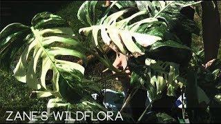 Repotting My Huge Variegated Monstera (Full Footage)