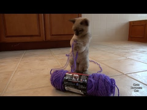 Adorable Chubby Kitten Loves to Play with Yarn! | So Cute & Funny!