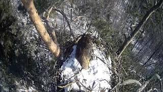 Веб-камера на гнезде орлана-белохвоста в Татарстане
