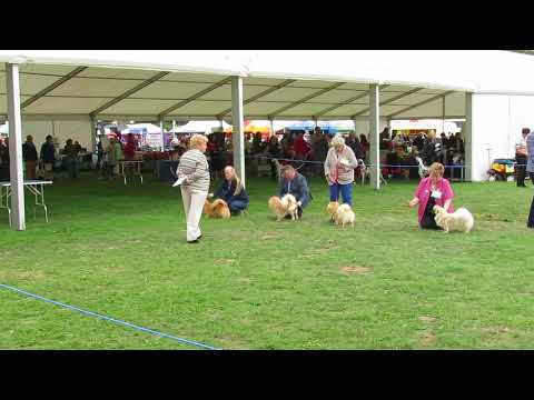 Finlay the Tibetan Spaniel in the Dog CC at Richmond