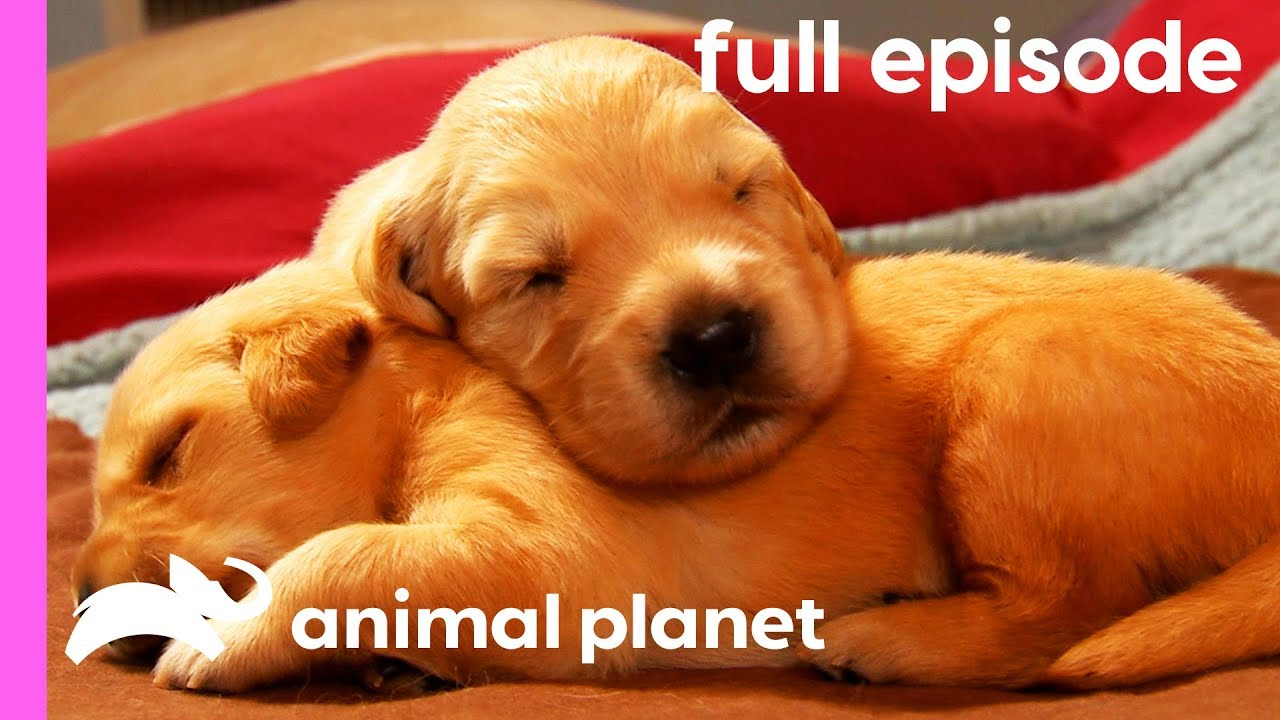 Labrador, Shih Tzu, and Golden Retriever Puppies! | Too Cute! (Full Episode)